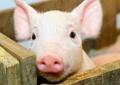 У Фастівському районі, с.Триліси, виявили африканську чуму свиней.
